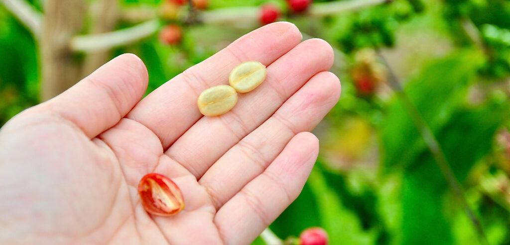 コーヒー豆の品種